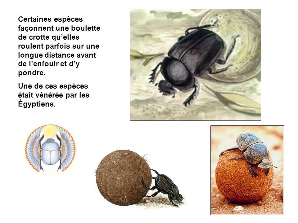 Certaines espèces façonnent une boulette de crotte qu'elles roulent parfois sur une longue distance avant de l'enfouir et d'y pondre.