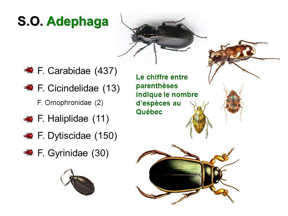 S.O. Adephaga F. Carabidae (437) F. Cicindelidae (13)