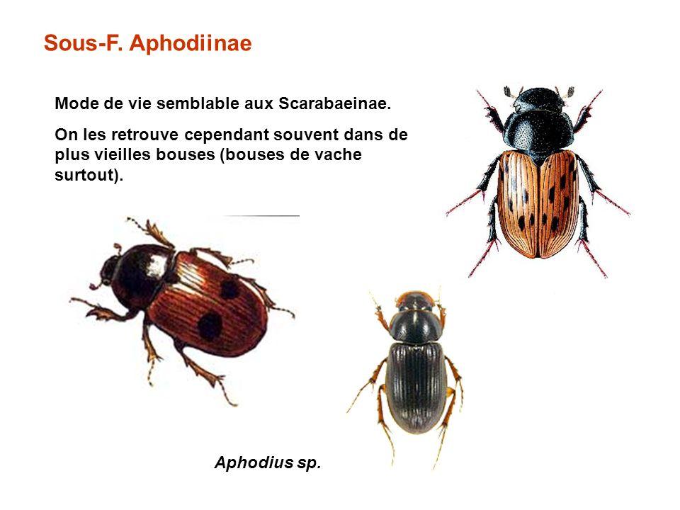 Sous-F. Aphodiinae Mode de vie semblable aux Scarabaeinae.
