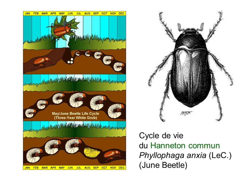 Cycle de vie du Hanneton commun Phyllophaga anxia (LeC.) (June Beetle)