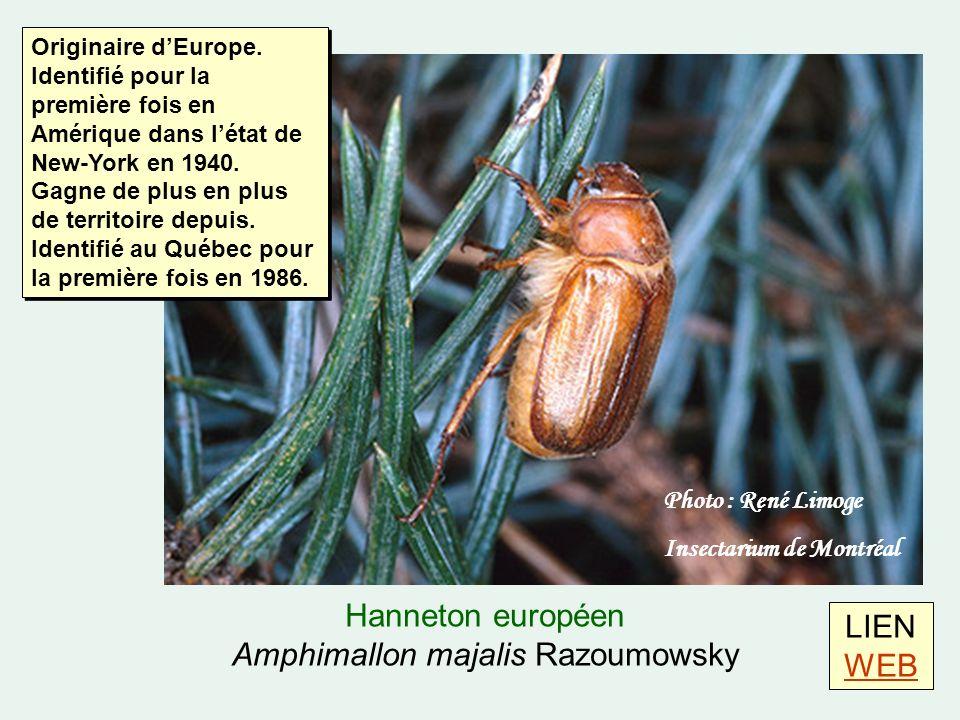 Hanneton européen Amphimallon majalis Razoumowsky