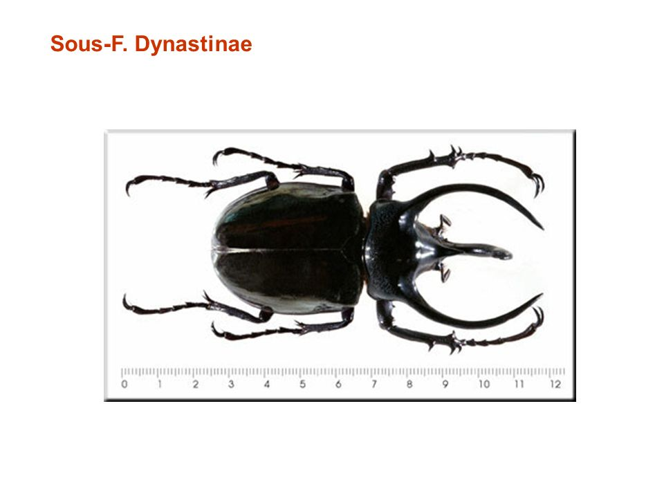 Sous-F. Dynastinae