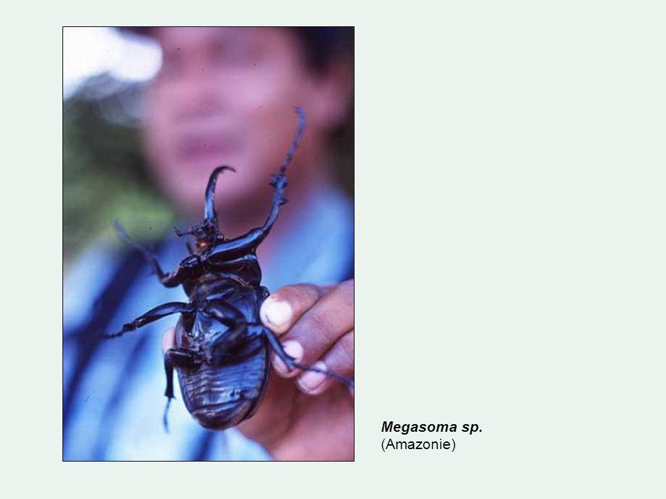 Megasoma sp. (Amazonie)