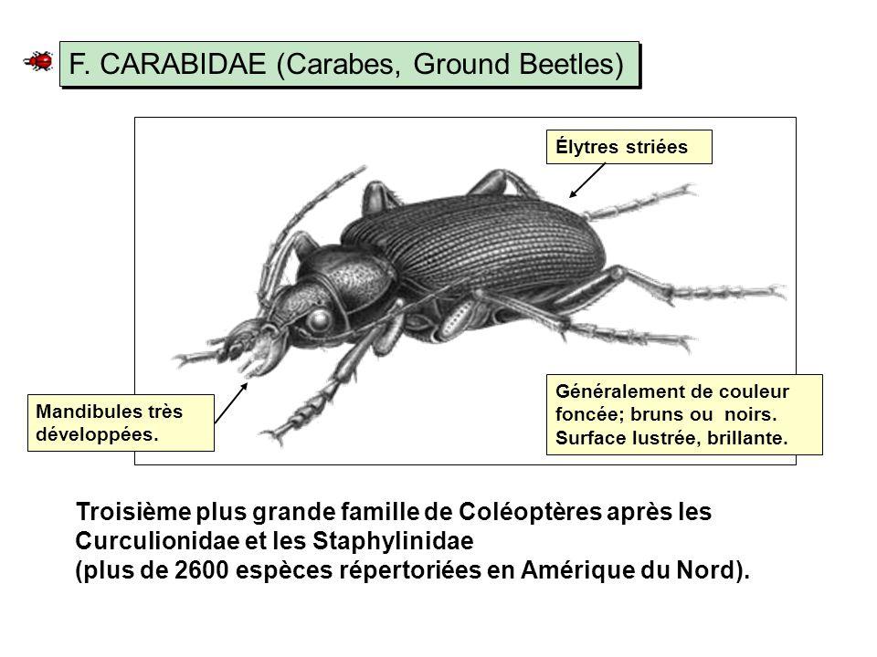 F. CARABIDAE (Carabes, Ground Beetles)
