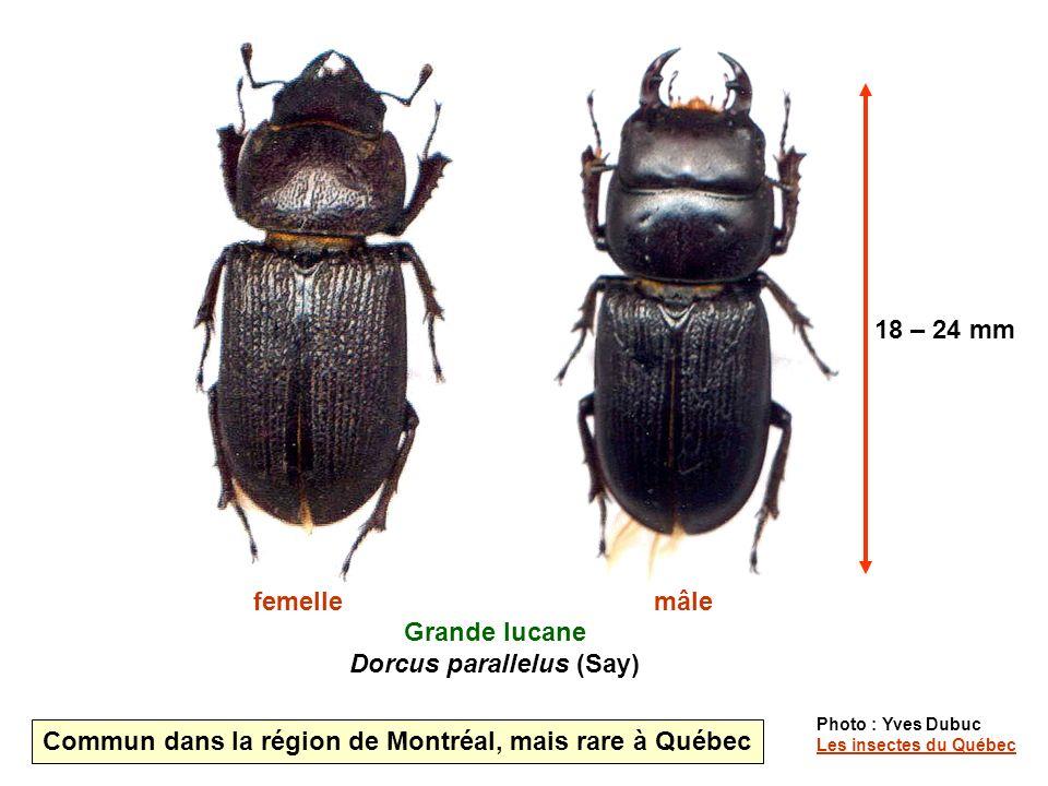 Grande lucane Dorcus parallelus (Say)