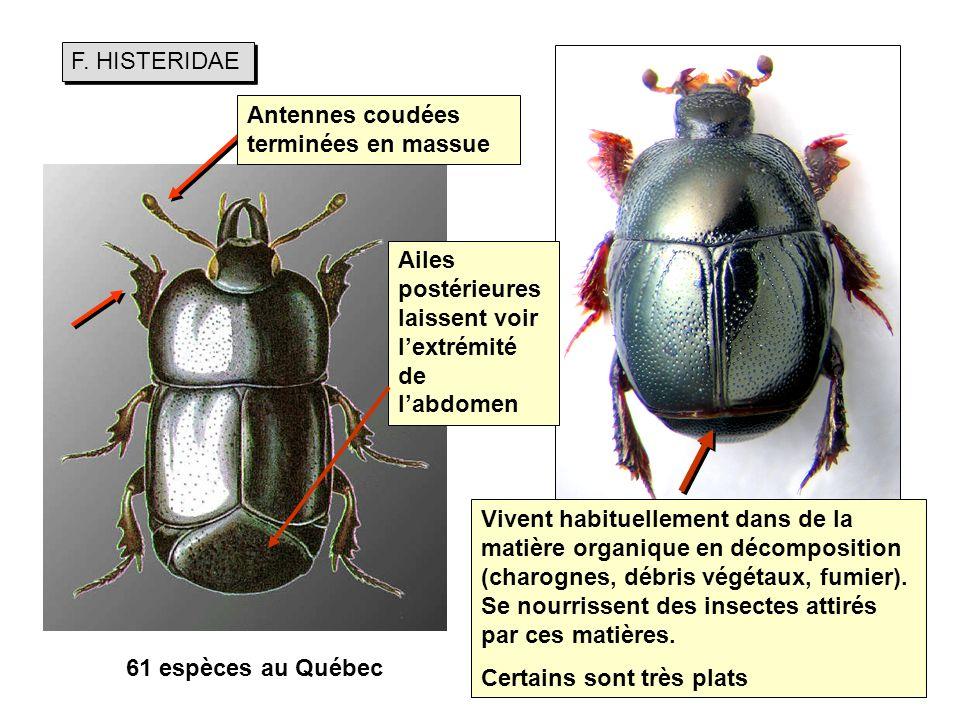 F. HISTERIDAE Antennes coudées terminées en massue. Ailes postérieures laissent voir l'extrémité de l'abdomen.