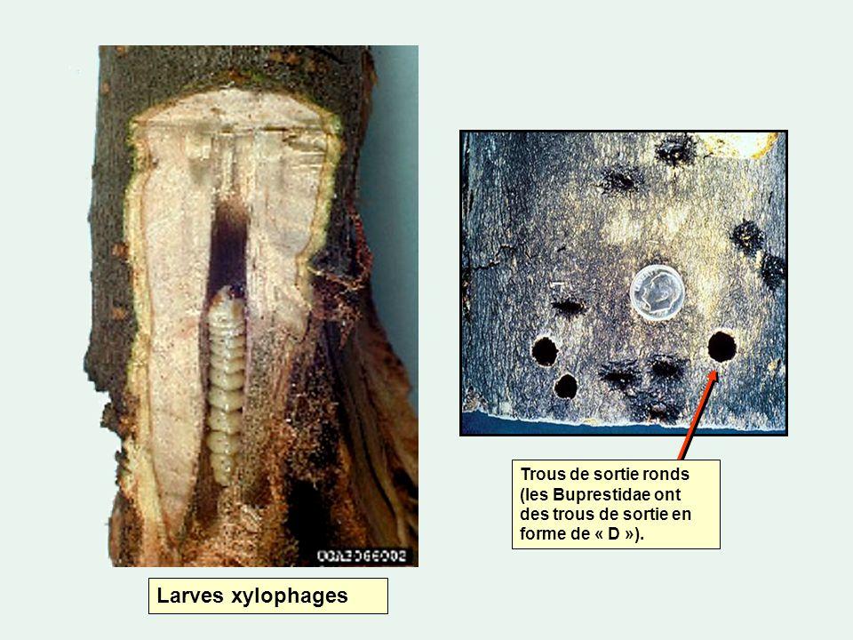 Trous de sortie ronds (les Buprestidae ont des trous de sortie en forme de « D »).