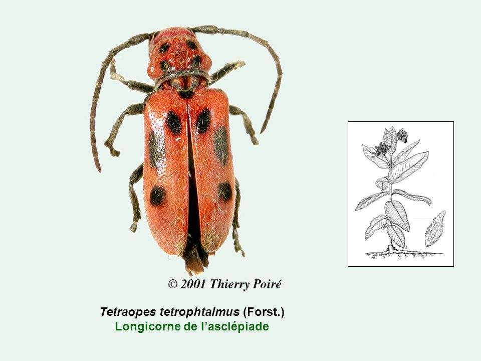 Tetraopes tetrophtalmus (Forst.) Longicorne de l'asclépiade