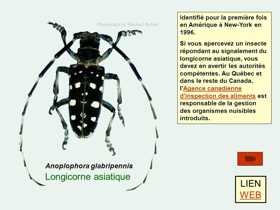 LIEN WEB Anoplophora glabripennis Longicorne asiatique