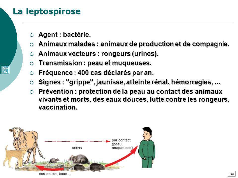 La leptospirose Agent : bactérie.