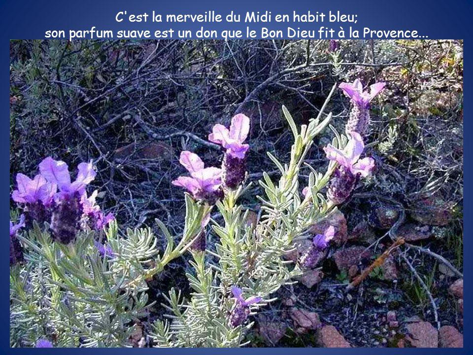 C est la merveille du Midi en habit bleu; son parfum suave est un don que le Bon Dieu fit à la Provence...