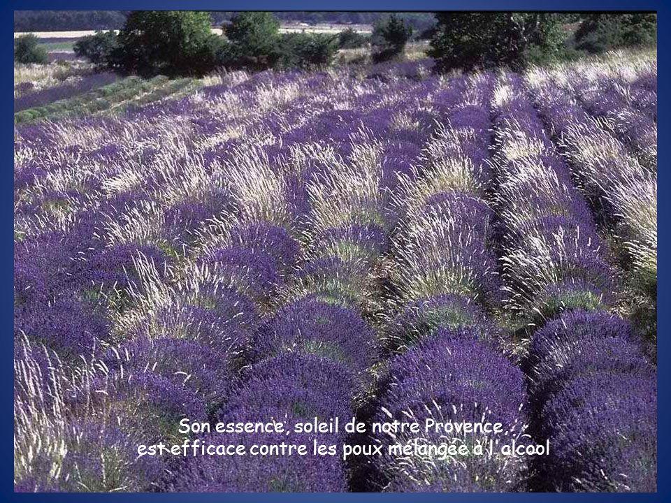 Son essence, soleil de notre Provence, est efficace contre les poux mélangée à l alcool