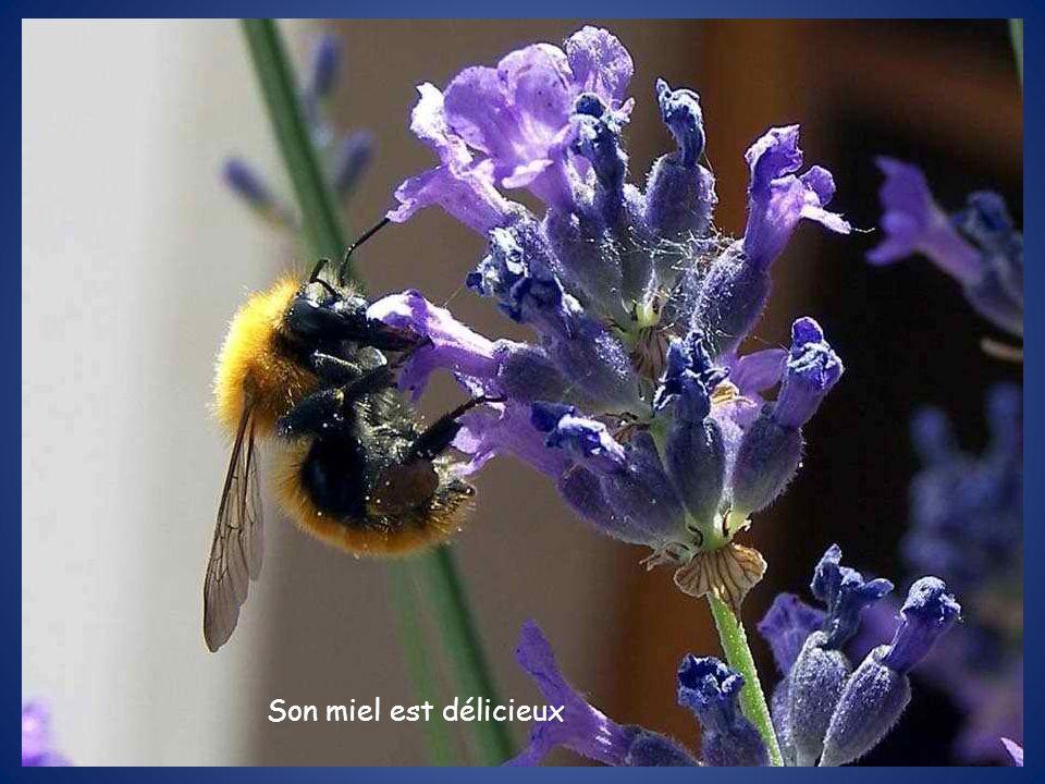 Son miel est délicieux