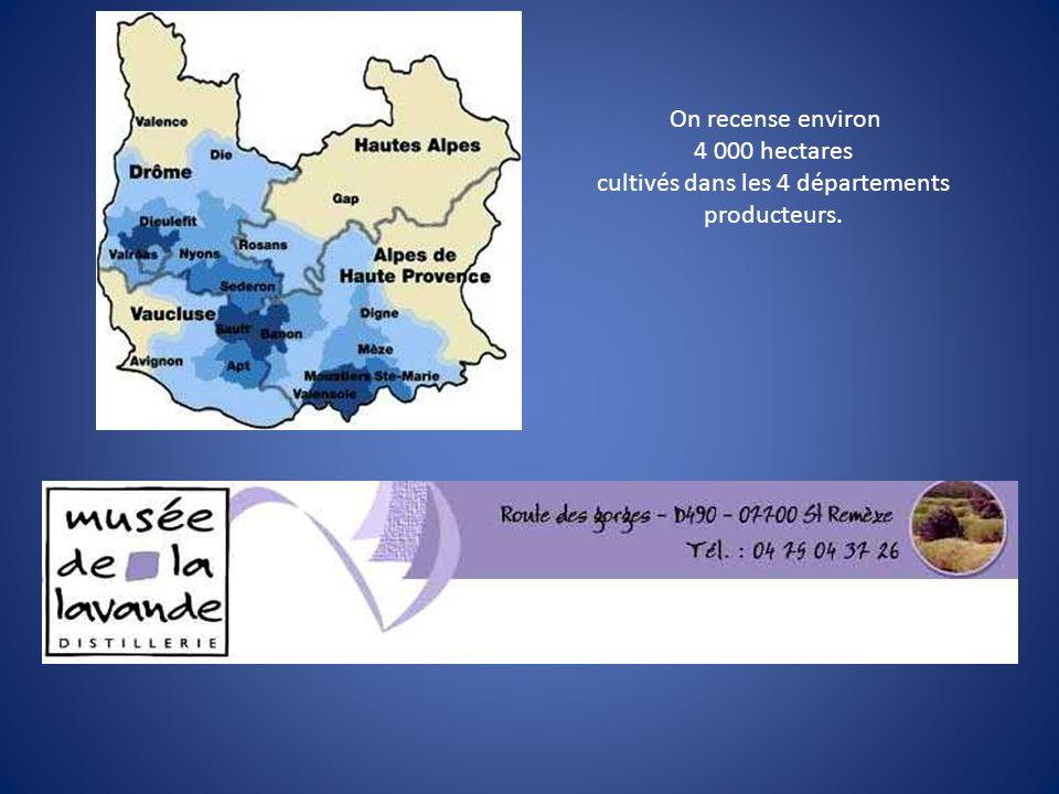 On recense environ 4 000 hectares cultivés dans les 4 départements producteurs.