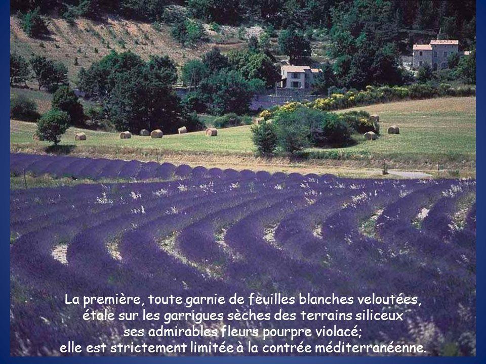 La première, toute garnie de feuilles blanches veloutées, étale sur les garrigues sèches des terrains siliceux ses admirables fleurs pourpre violacé; elle est strictement limitée à la contrée méditerranéenne.