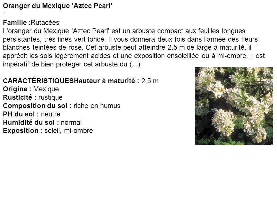 Oranger du Mexique Aztec Pearl