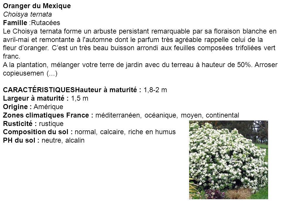 Oranger du Mexique Choisya ternata.