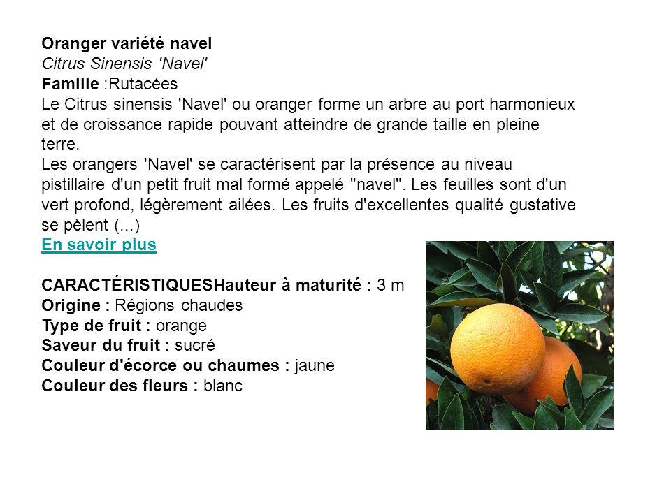 Oranger variété navel Citrus Sinensis Navel