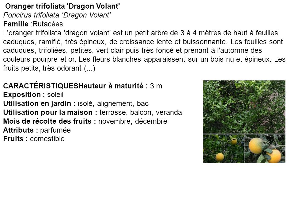 Oranger trifoliata Dragon Volant