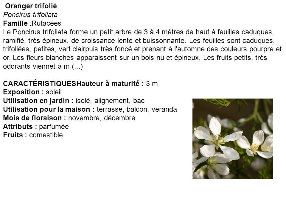 Oranger trifolié Poncirus trifoliata.