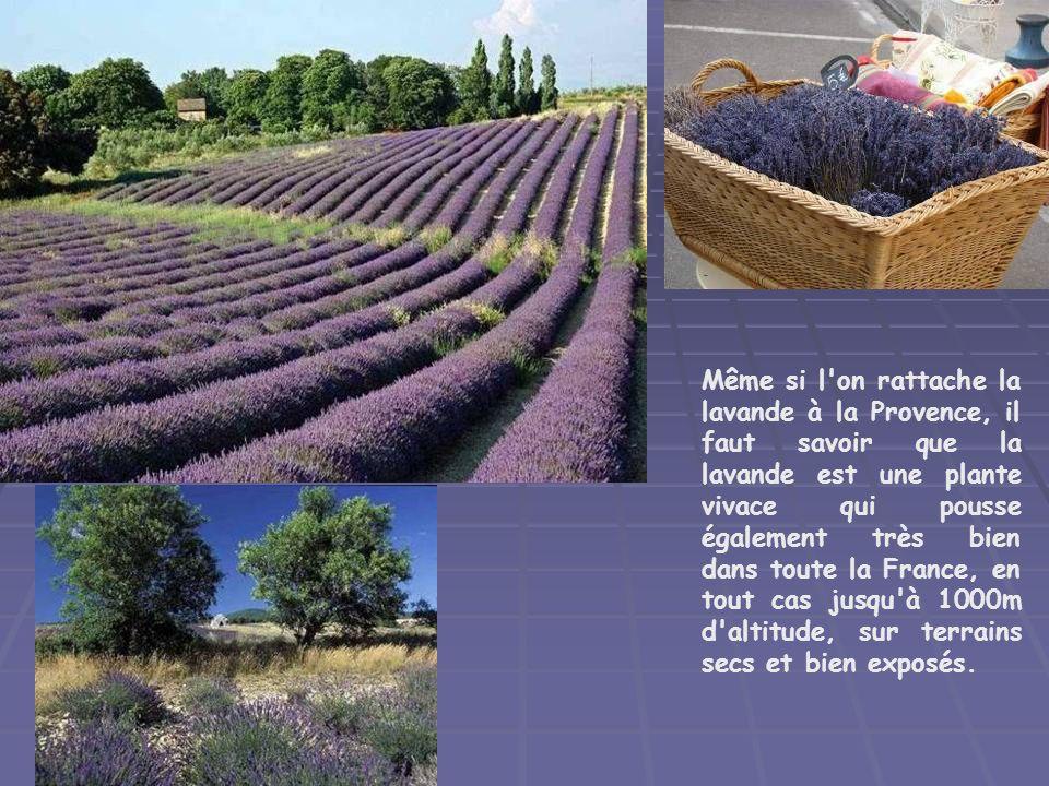 Même si l on rattache la lavande à la Provence, il faut savoir que la lavande est une plante vivace qui pousse également très bien dans toute la France, en tout cas jusqu à 1000m d altitude, sur terrains secs et bien exposés.