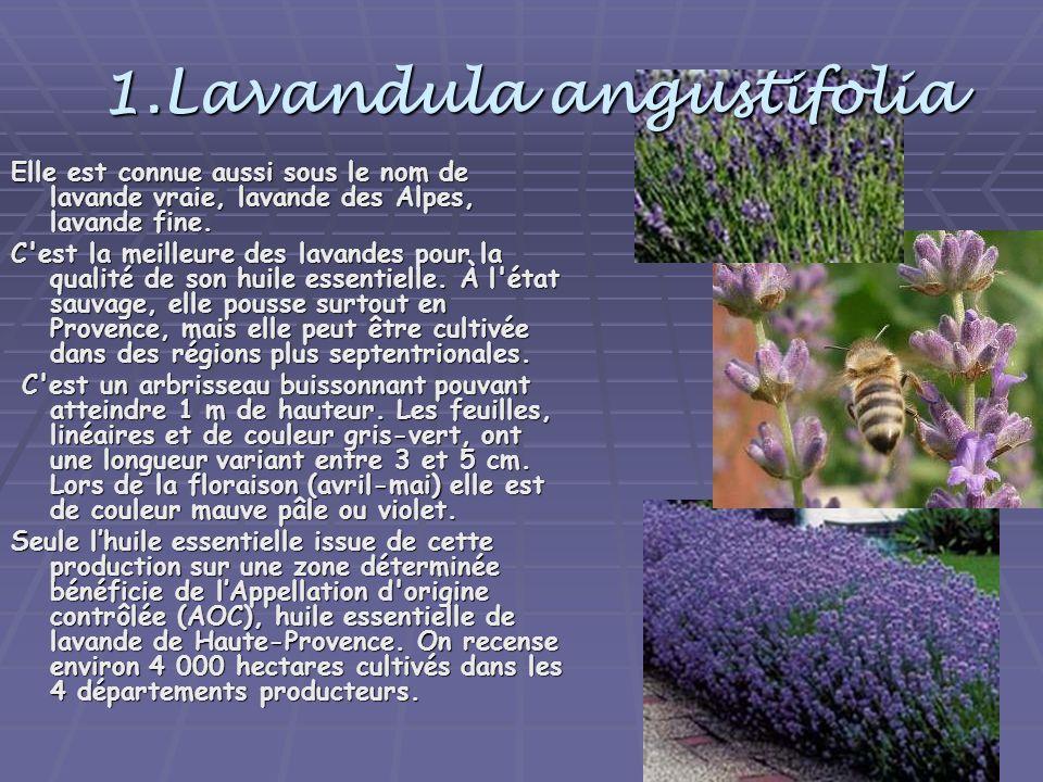 1.Lavandula angustifolia