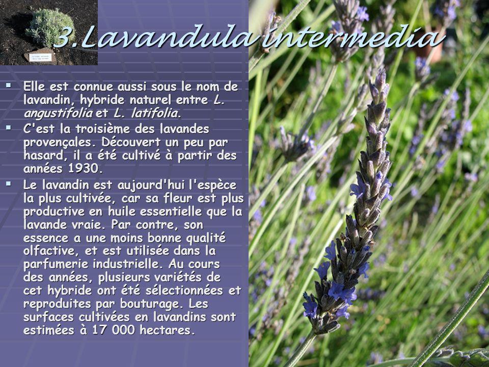 3.Lavandula intermedia Elle est connue aussi sous le nom de lavandin, hybride naturel entre L. angustifolia et L. latifolia.