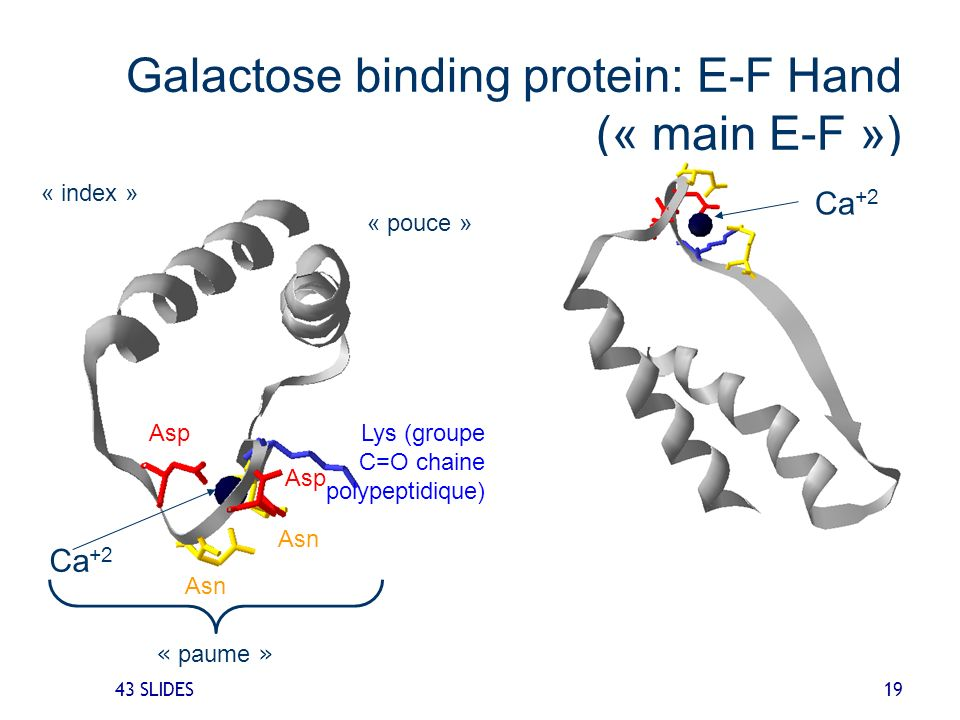 Galactose binding protein: E-F Hand (« main E-F »)