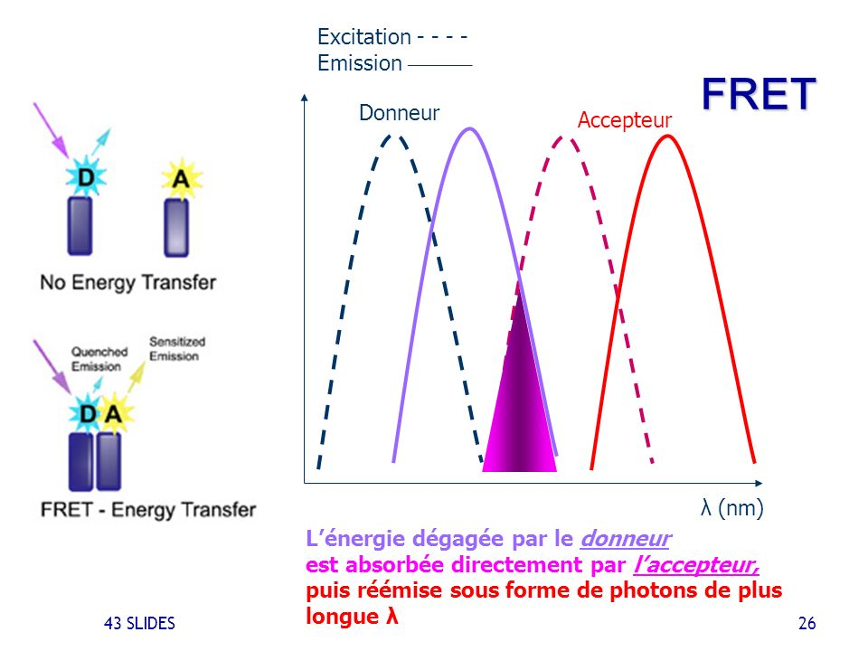 FRET Excitation - - - - Emission ________ Donneur Accepteur λ (nm)