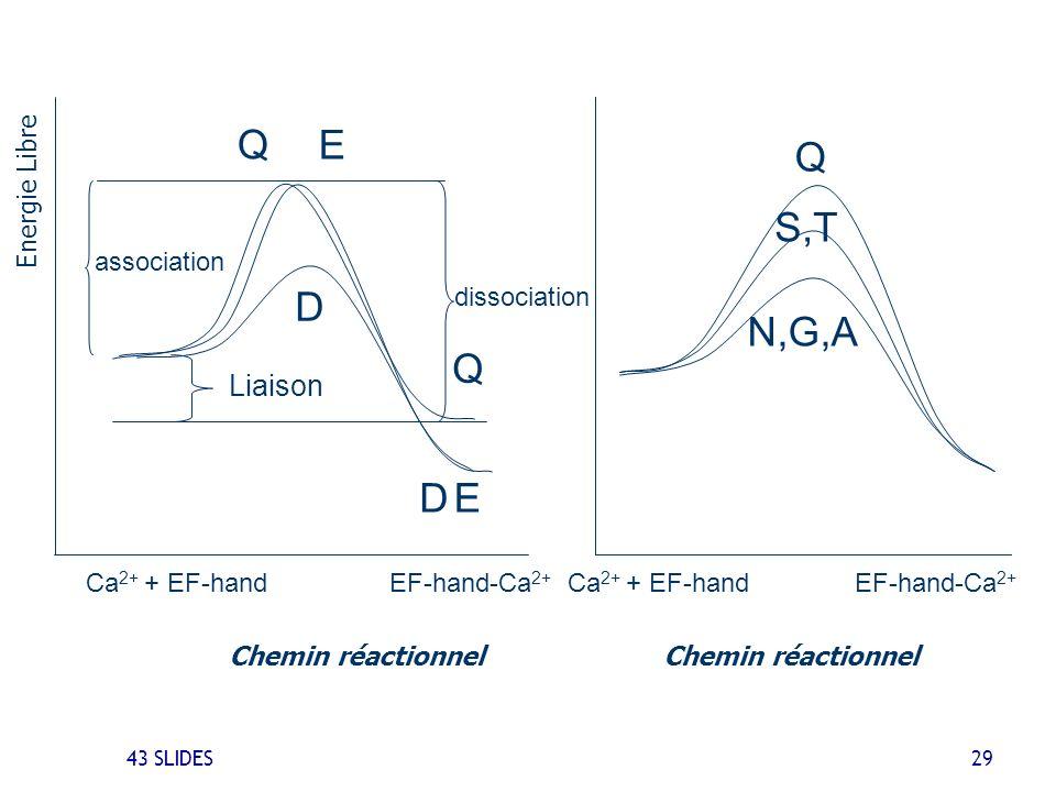 Q S,T D N,G,A Q E Liaison Ca2+ + EF-hand EF-hand-Ca2+ association