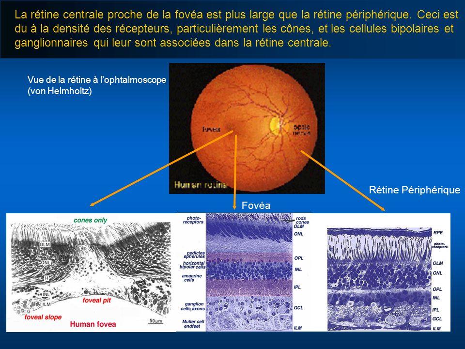 La rétine centrale proche de la fovéa est plus large que la rétine périphérique. Ceci est du à la densité des récepteurs, particulièrement les cônes, et les cellules bipolaires et ganglionnaires qui leur sont associées dans la rétine centrale.
