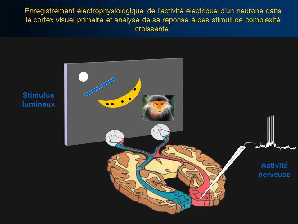 Enregistrement électrophysiologique de l'activité électrique d'un neurone dans le cortex visuel primaire et analyse de sa réponse à des stimuli de complexité croissante.