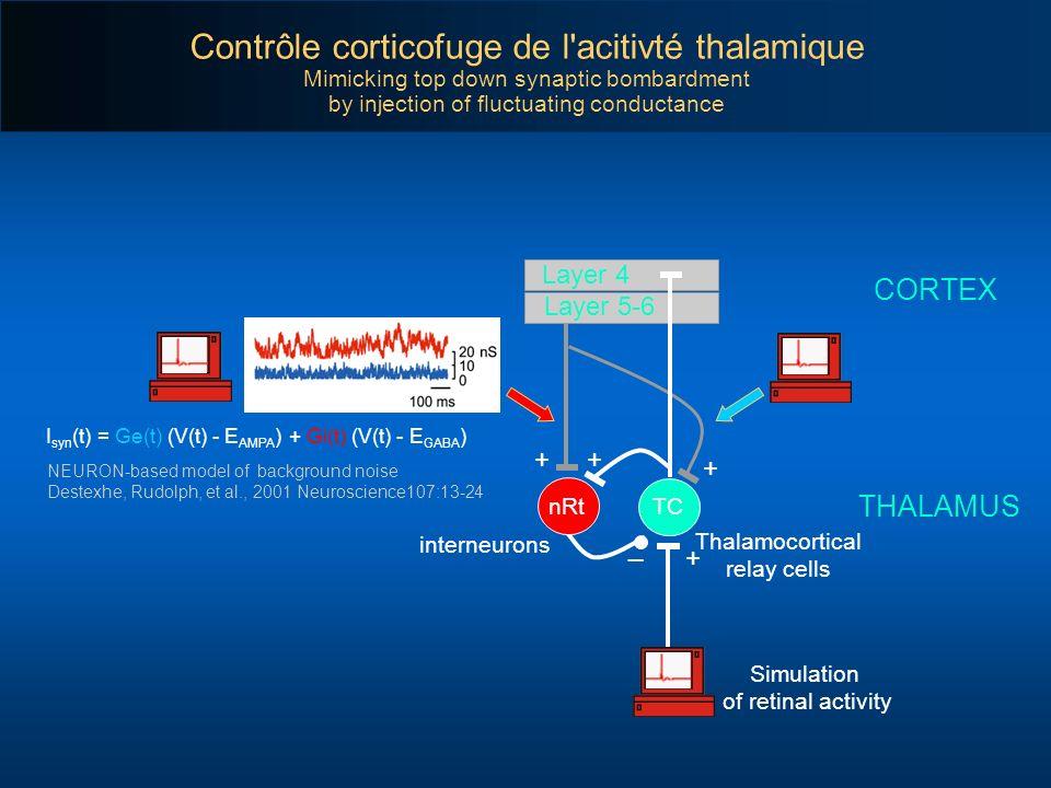 Contrôle corticofuge de l acitivté thalamique