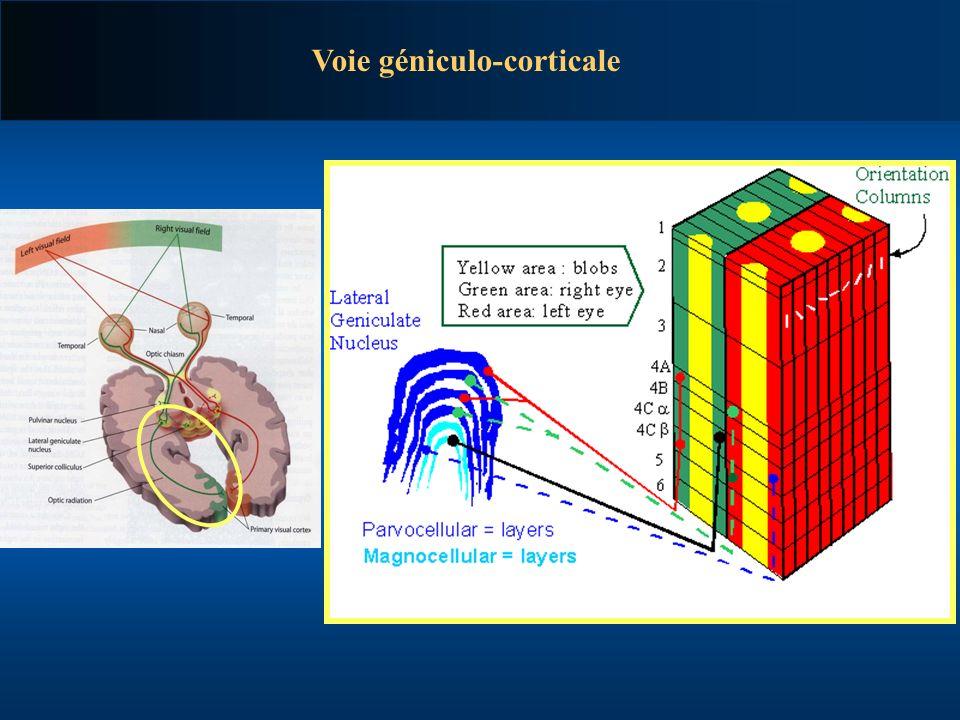 Voie géniculo-corticale