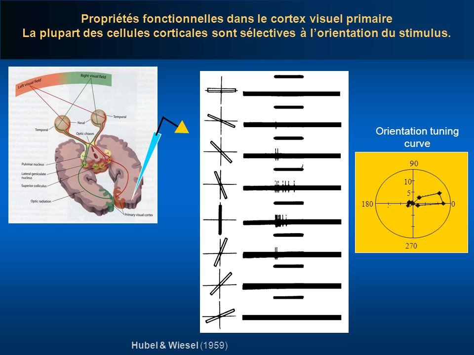 Propriétés fonctionnelles dans le cortex visuel primaire