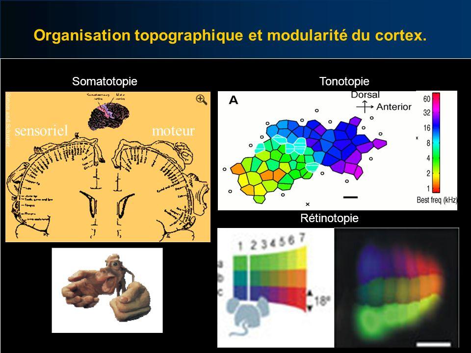 Organisation topographique et modularité du cortex.