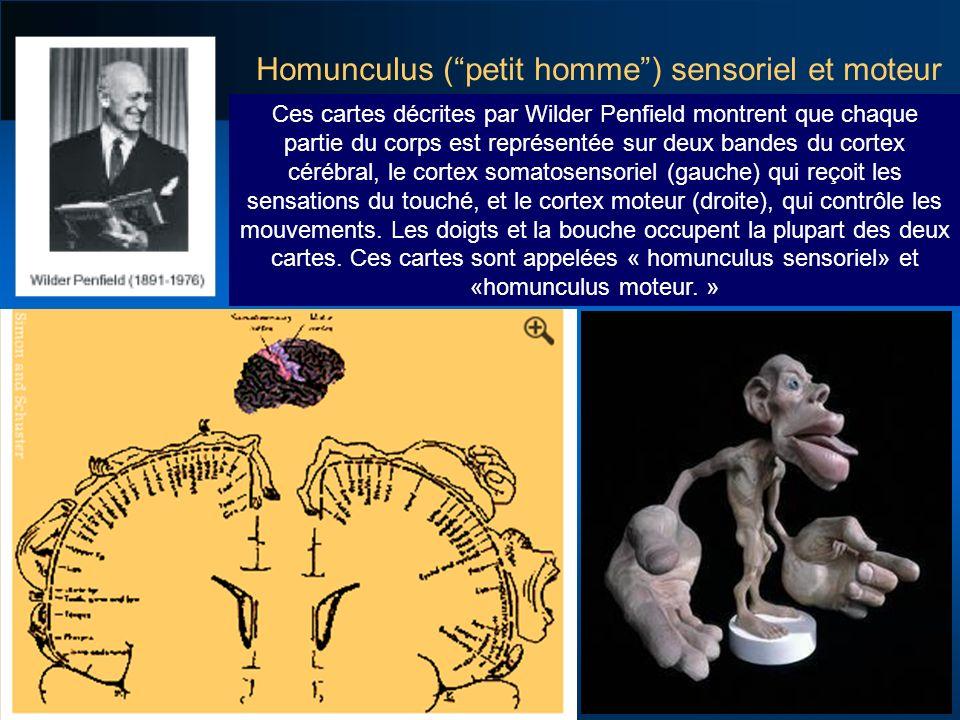 Homunculus ( petit homme ) sensoriel et moteur