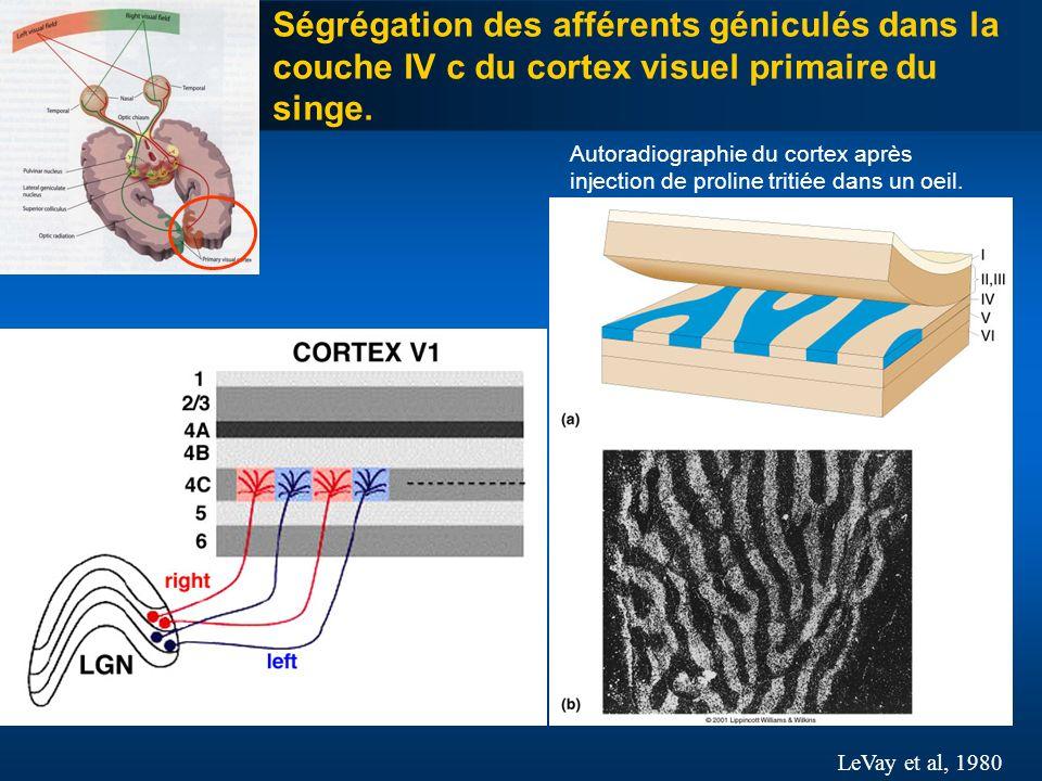 Ségrégation des afférents géniculés dans la couche IV c du cortex visuel primaire du singe.