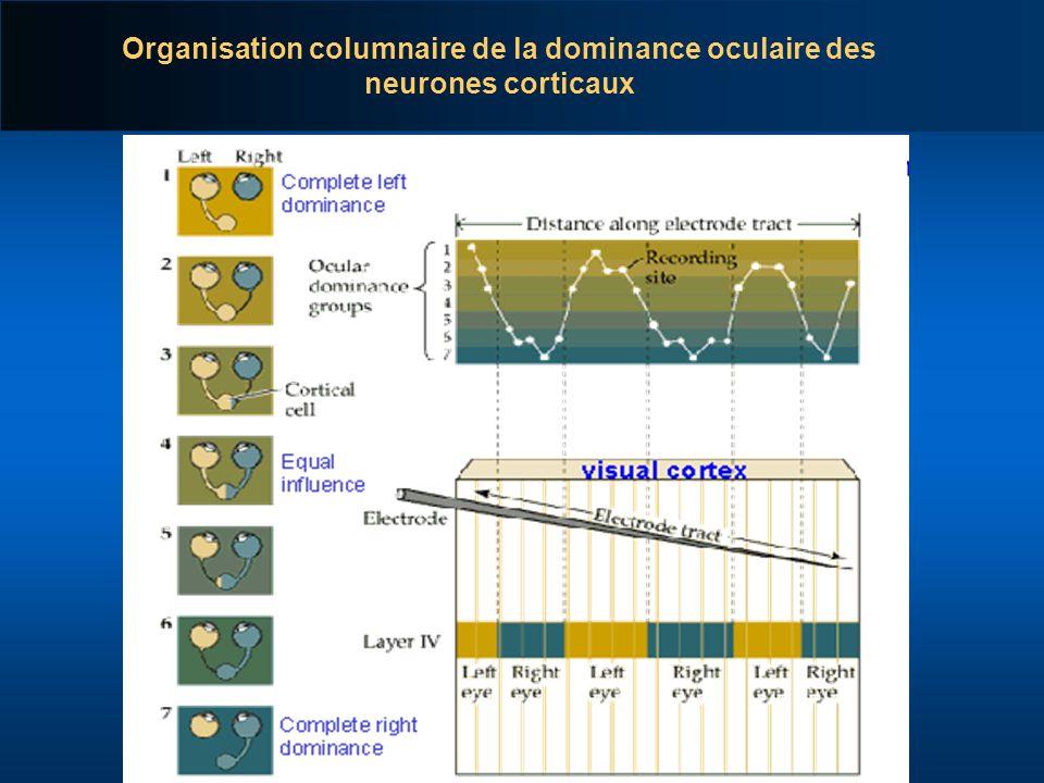 Organisation columnaire de la dominance oculaire des neurones corticaux