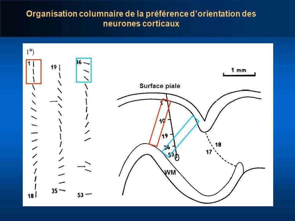 Organisation columnaire de la préférence d'orientation des neurones corticaux