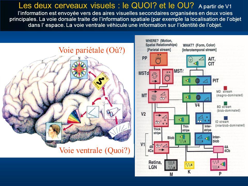 Les deux cerveaux visuels : le QUOI. et le OU