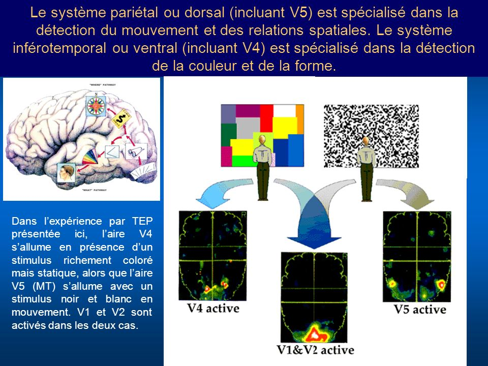 Le système pariétal ou dorsal (incluant V5) est spécialisé dans la détection du mouvement et des relations spatiales. Le système inférotemporal ou ventral (incluant V4) est spécialisé dans la détection de la couleur et de la forme.