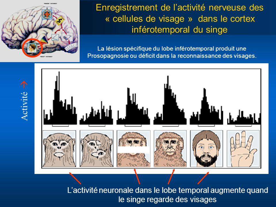 Enregistrement de l'activité nerveuse des « cellules de visage » dans le cortex inférotemporal du singe