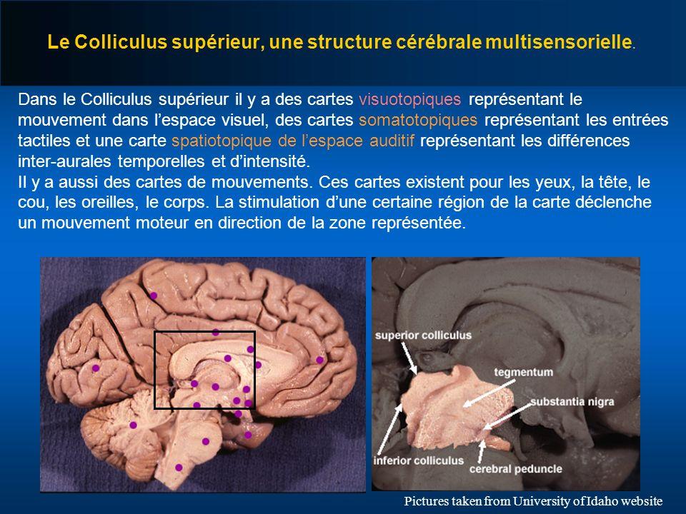 Le Colliculus supérieur, une structure cérébrale multisensorielle.