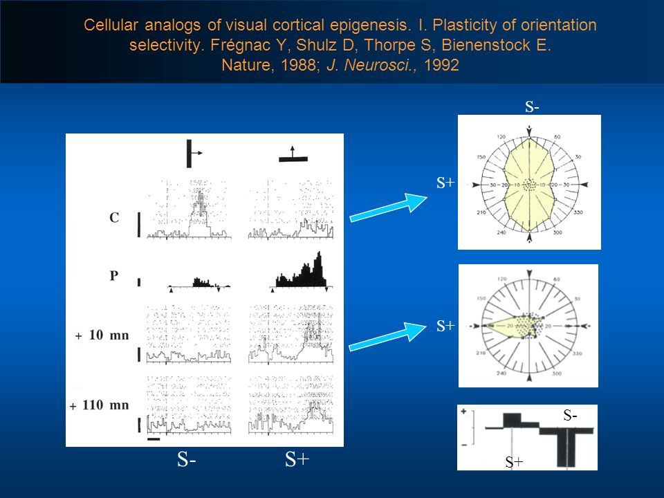 Cellular analogs of visual cortical epigenesis. I