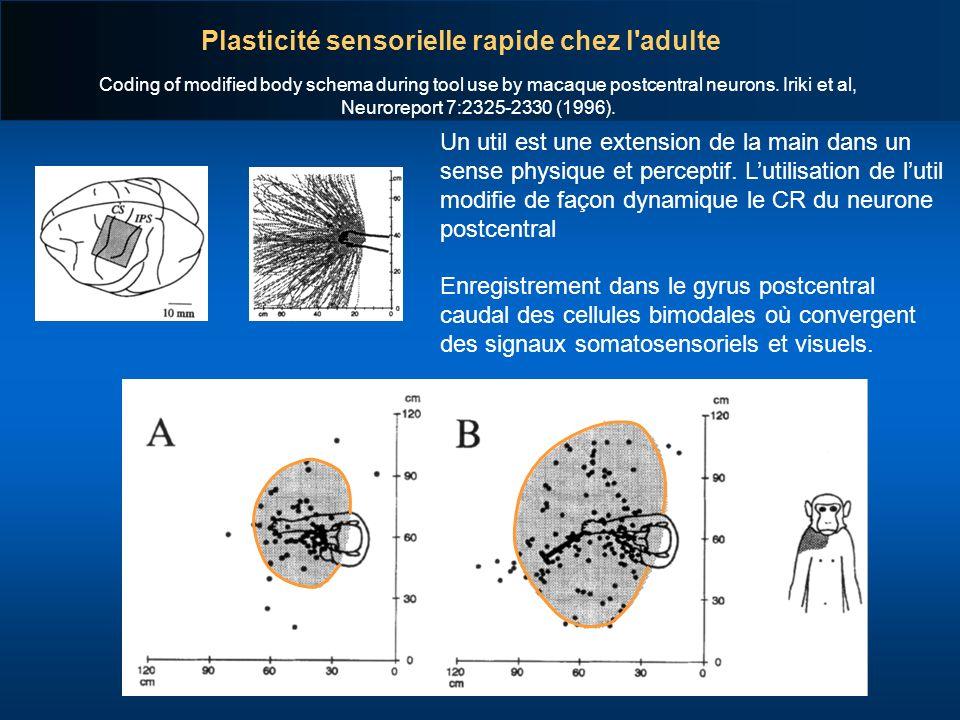 Plasticité sensorielle rapide chez l adulte