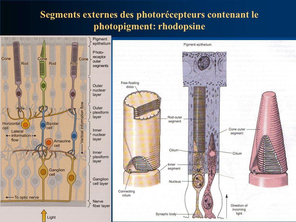 Segments externes des photorécepteurs contenant le photopigment: rhodopsine