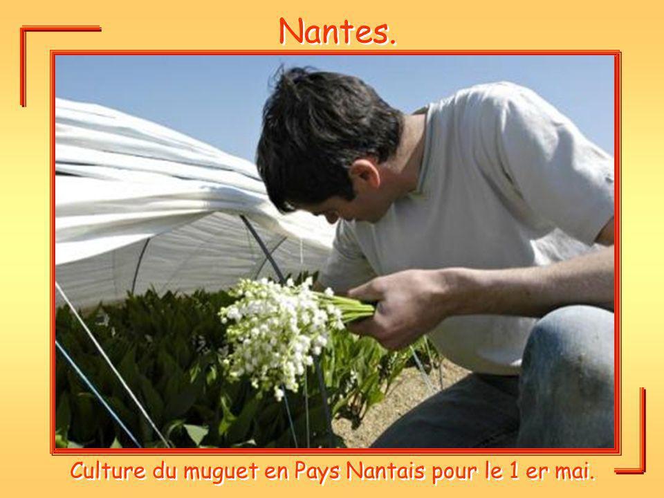Culture du muguet en Pays Nantais pour le 1 er mai.