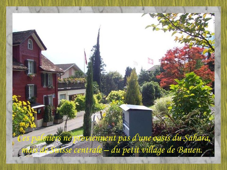 Ces palmiers ne proviennent pas d une oasis du Sahara, mais de Suisse centrale – du petit village de Bauen.