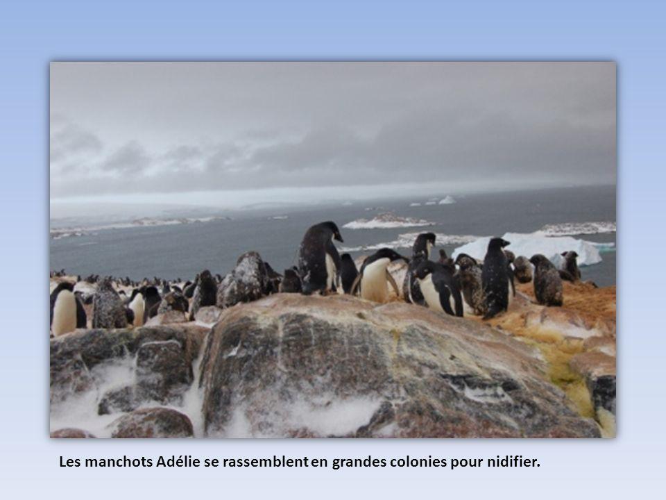 Les manchots Adélie se rassemblent en grandes colonies pour nidifier.